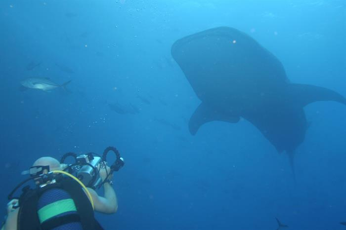 Whale sharks in Cocos Islands