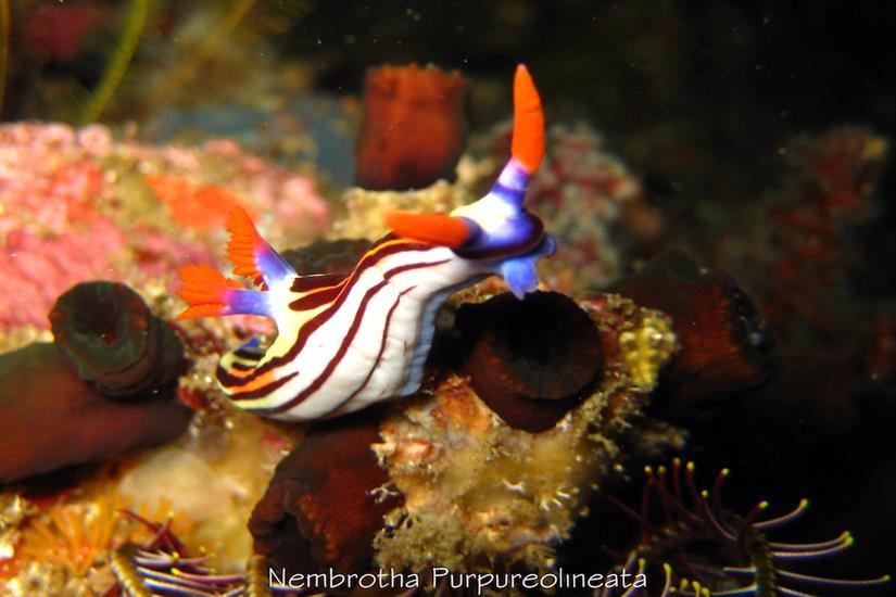 Beautiful Nembrotha Nudibranch