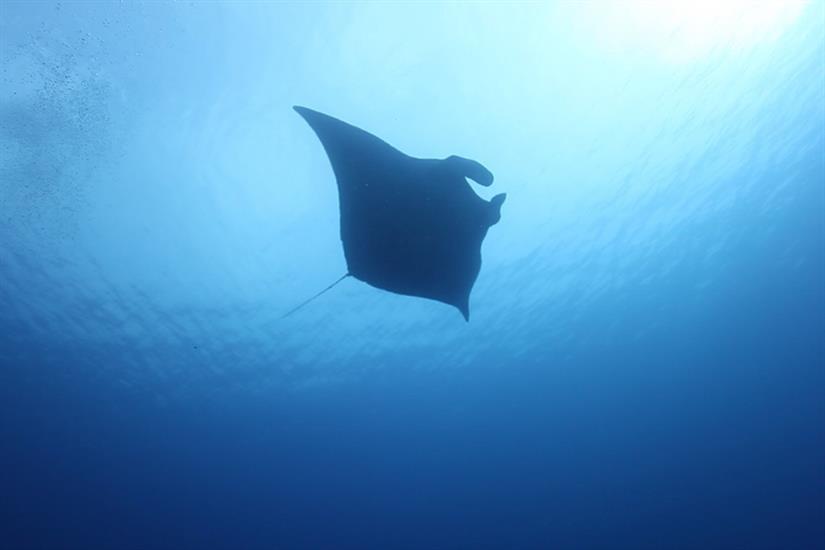 Manta Ray - Andaman Islands