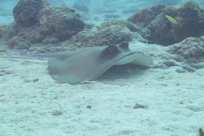 Blue Spotted Stingray - Andaman Islands