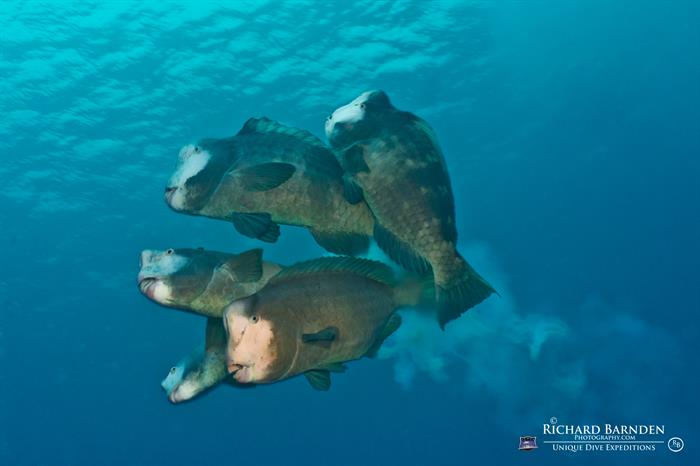 Spawning Bumphead Parrotfish - Palau