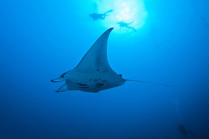 Manta Rays in Palau