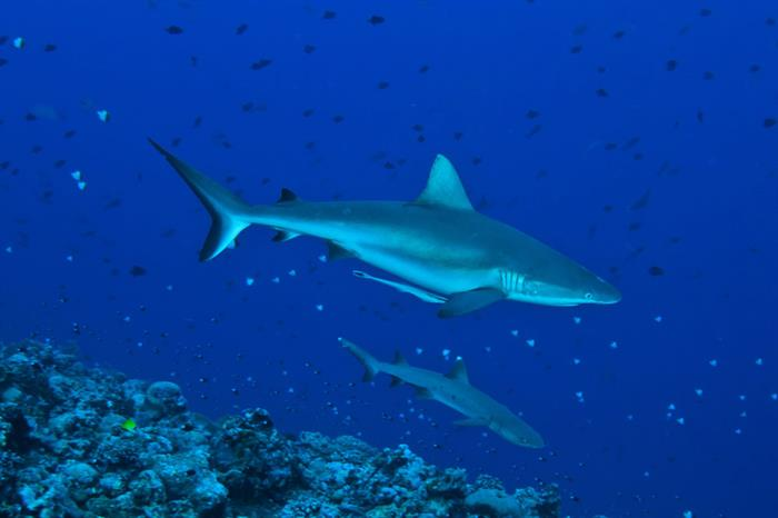 Sharks at Blue Corner Palau