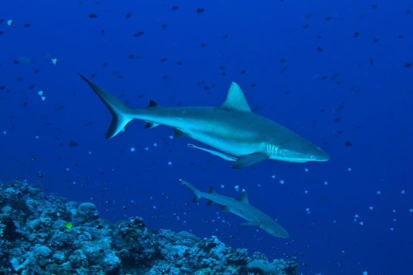 Sharks at Blue Corner Palau
