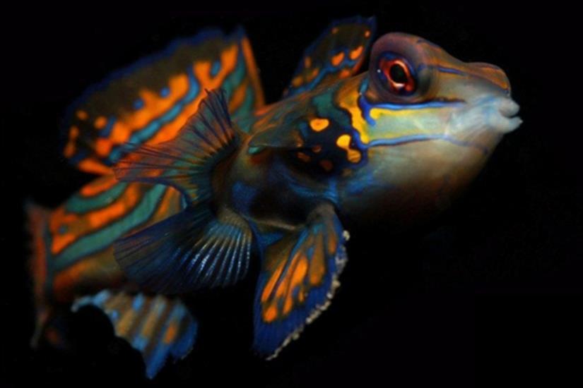 Mandarin Fish - Moana Liveaboard