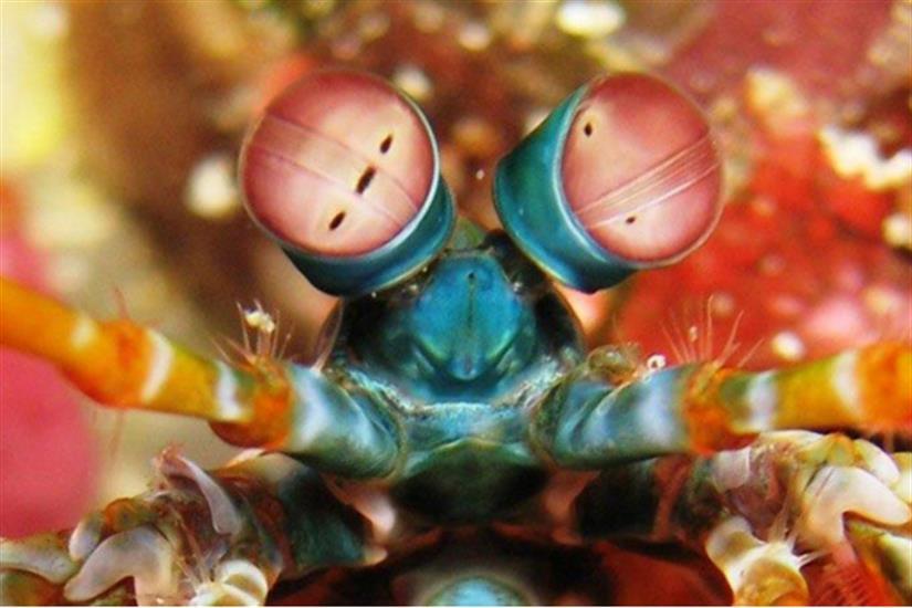 Peacock Mantis Shrimp - Komodo - Moana Liveaboard