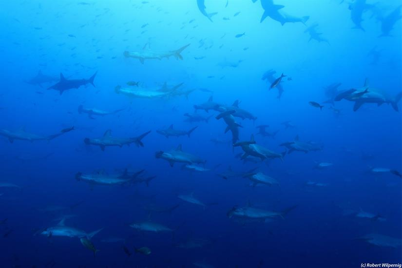 Diving with Hammerheads in the Galapagos Islands