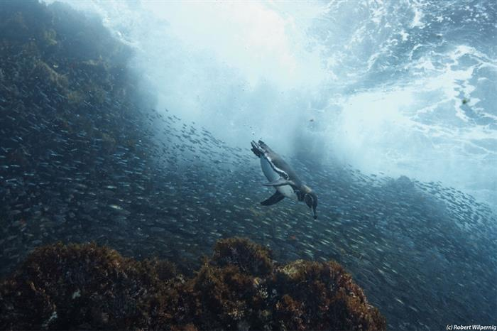 Diving with Penguins in the Galapagos Islands