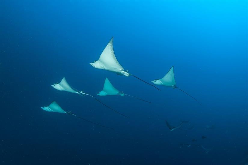 Eagle Ray Squadron Scuba Diving Maldives