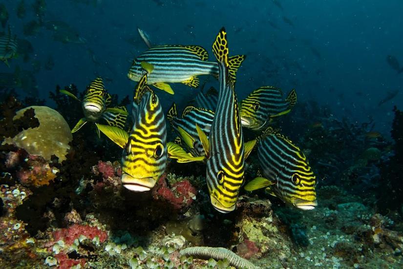 Sweetlips - Emperor Atoll Liveaboard Maldives