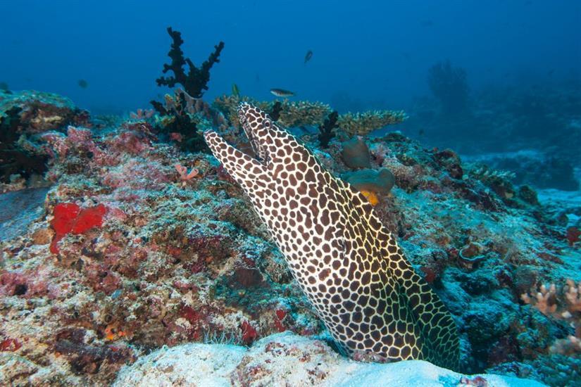 Honeycomb Moray Eel - Maldives Scuba Diving