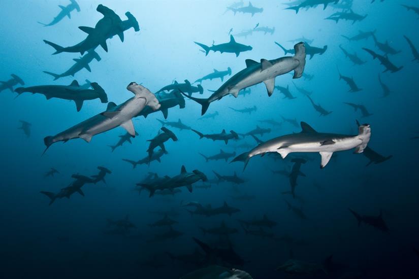 Schooling Hammerheads with Undersea Hunter Liveaboard