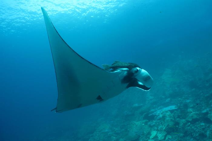 Manta Ray Similan Islands