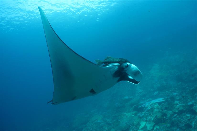 Manta Ray Similan Islands