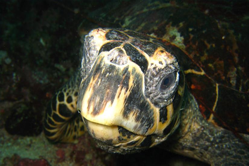 Turtle - Andaman Sea