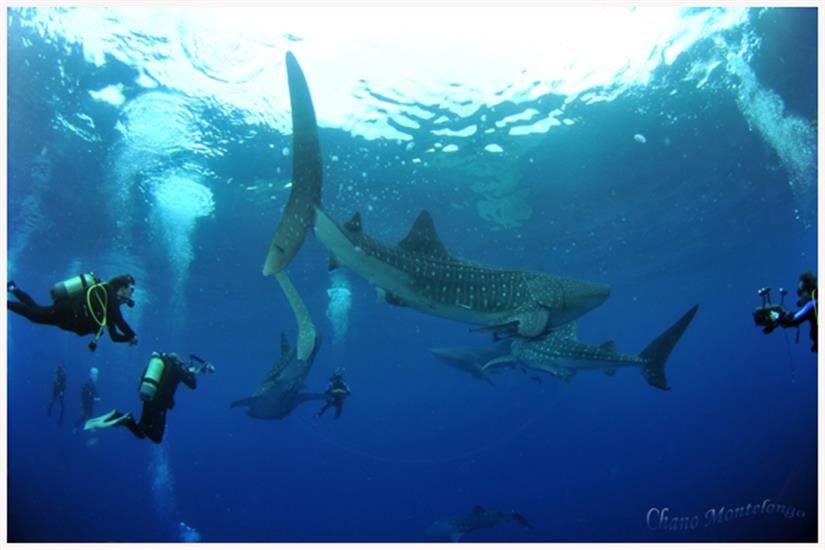 Diving with Whale Sharks in Cenderawasih Bay