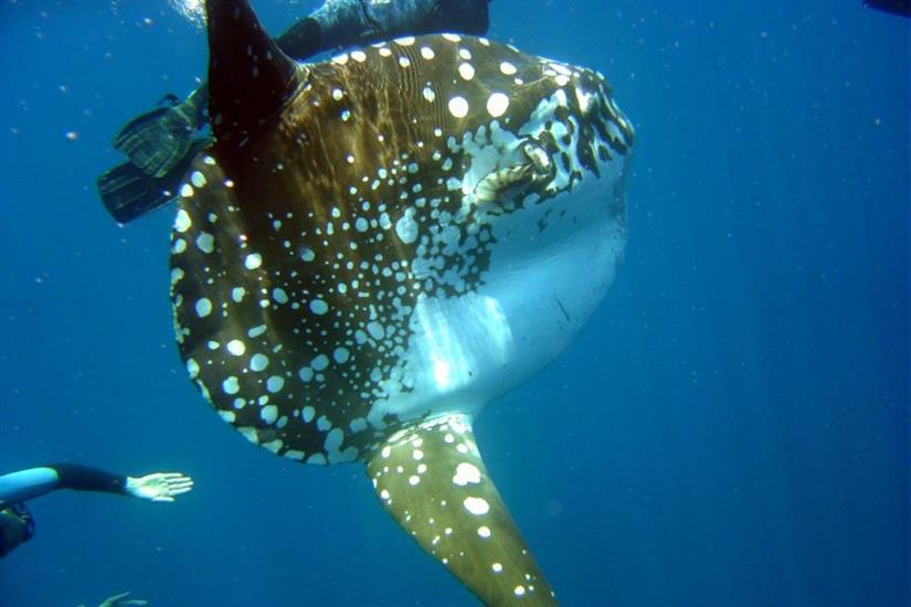 Mola Mola encounters in Indonesia