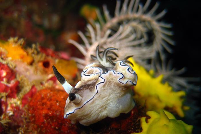 Beautiful Nudibranch - Indonesia