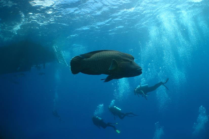 Napoleon Wrasse, Great Barrier Reef - ScubaPro I