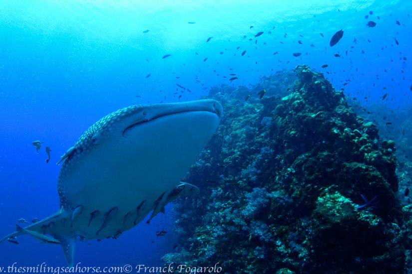 Dive with whale sharks at Richelieu Rock