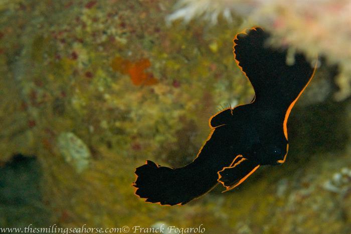 Juvenile batfish - Thailand