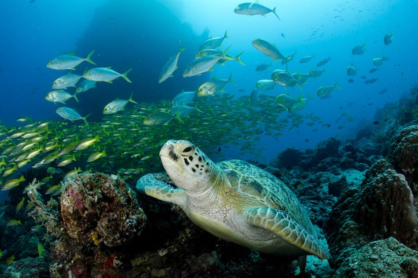 Green Turtle Australia