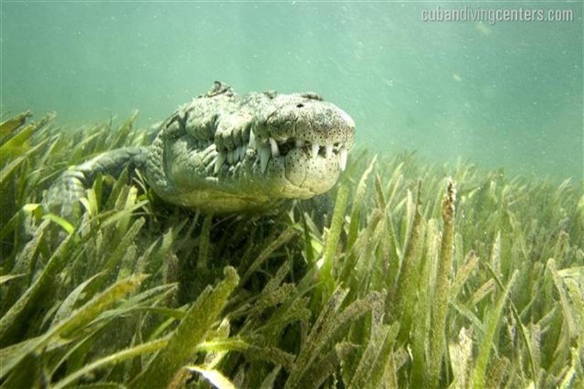Saltwater Crocodiles at the Jardines de la Riena