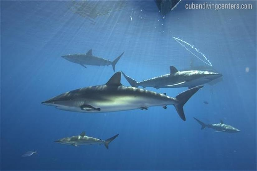 Exciting shark action in Cuba
