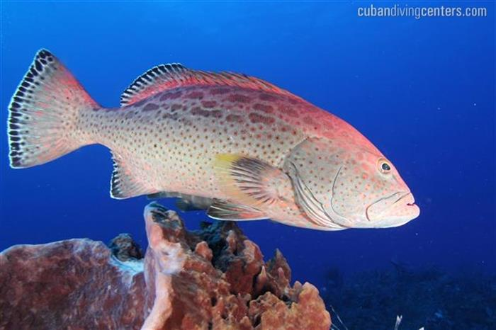Caribbean marine life in Cuba - La Reina