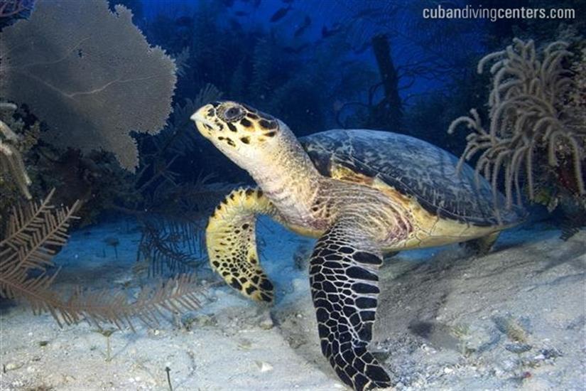 Turtle encounters in Cuba onboard La Reina