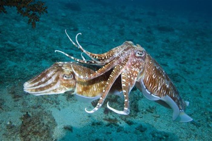 Frolicking Cuttlefish - Koh Bon