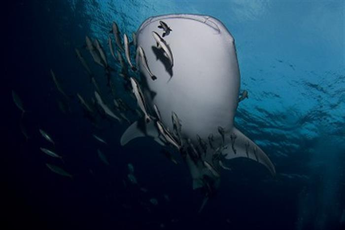 Whale Sharks of Richelieu Rock