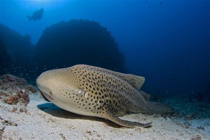 Leopard Shark - Andaman Sea Diving