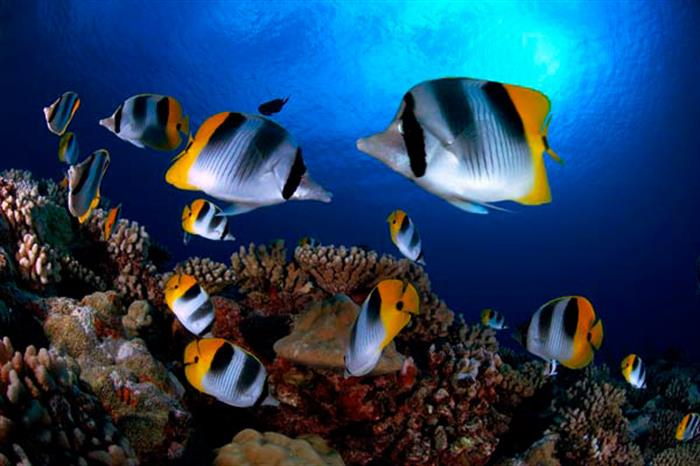 Butterfly Fish in the Galapagos