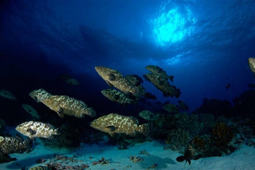 Schools of Grouper in French Polynesia