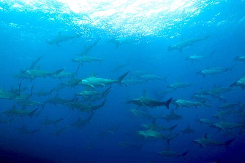 Hammerhead sightings - Nautilus Explorer