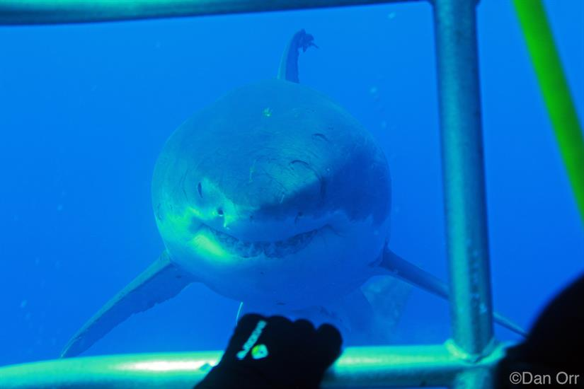 Awesome close up views of Great White Sharks -Nautilus Belle Amie