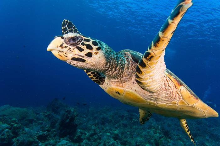 Diving with Turtles in Indonesia