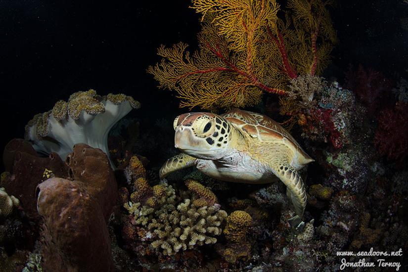 Seadoors Dive Liveaboard Philippines - Turtle