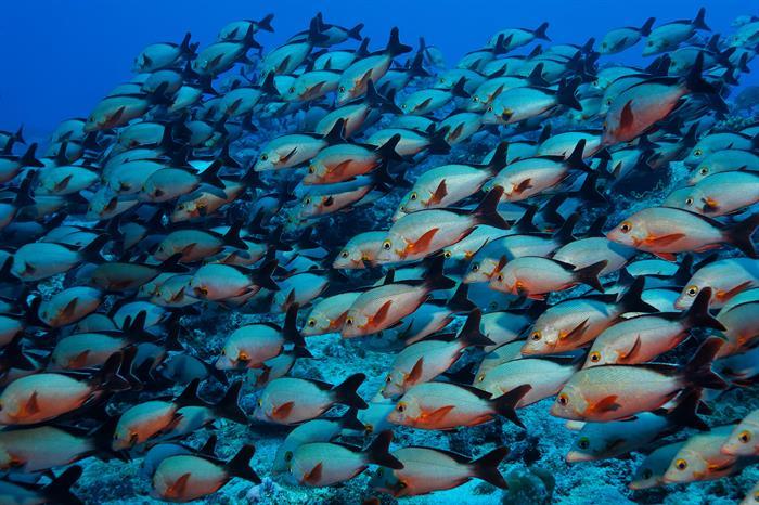 Schooling Fish MY Sheena Liveaboard Maldives
