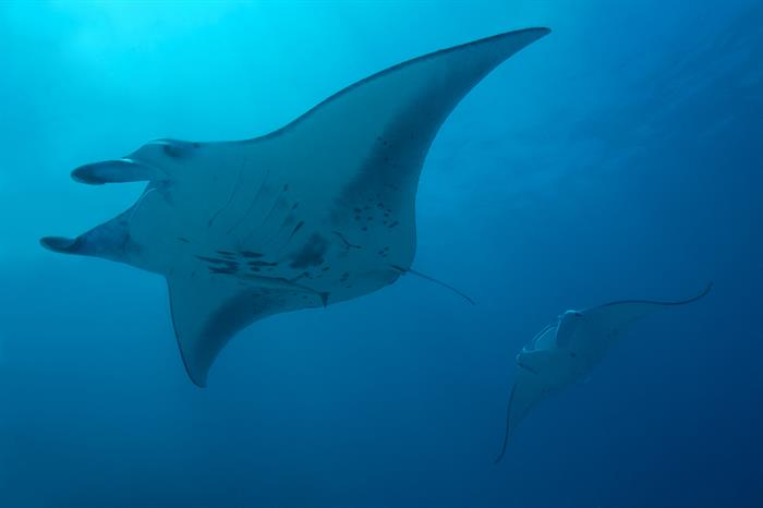 Schooling Manta Rays MY Sheena Liveaboard Maldives