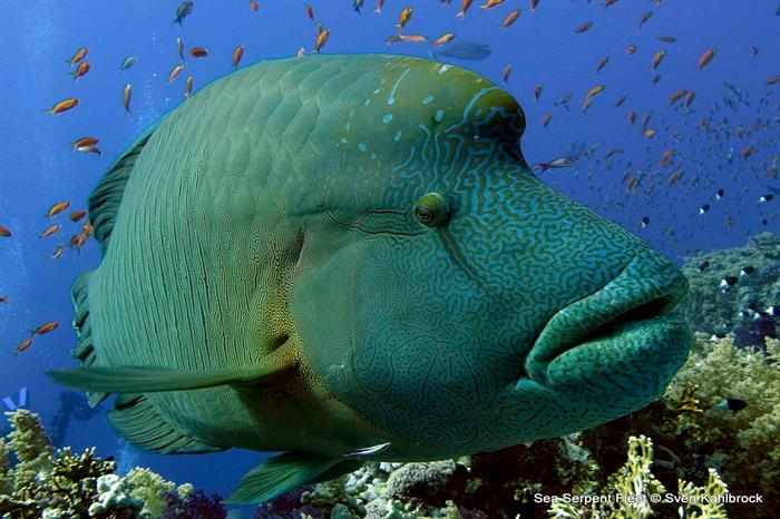 Up close and personal with Bumphead Parrotfish