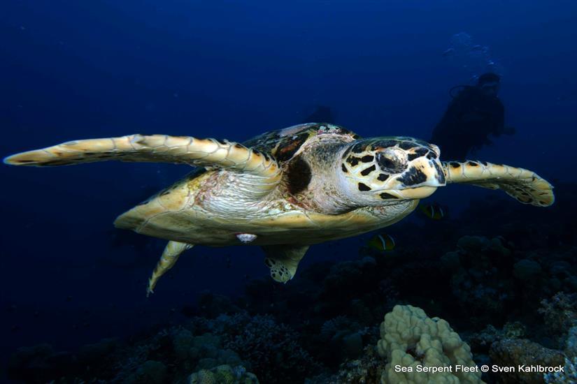 Hawksbill Turtle - Obsession Liveaboard Red Sea