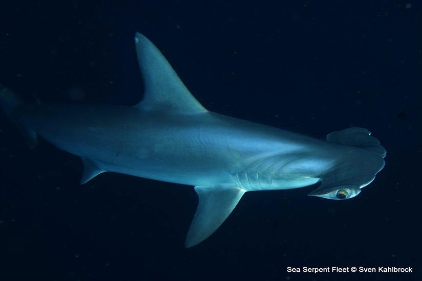 Amazing Red Sea Diving - Hammerhead Shark