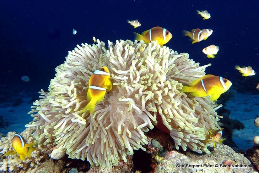 Clown Fish & Anemone - Sea Serpent Red Sea
