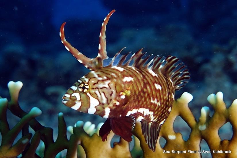 Rock Mover Wrasse -  Sea Serpent Red Sea