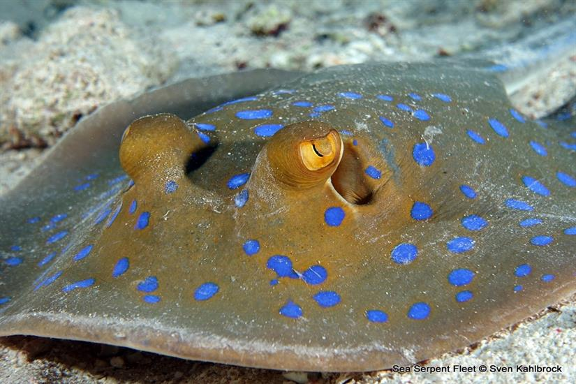 Blue Spotted Stingray -  Sea Serpent Red Sea