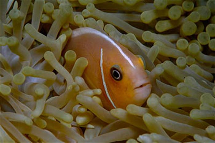 Tomato Clown fish
