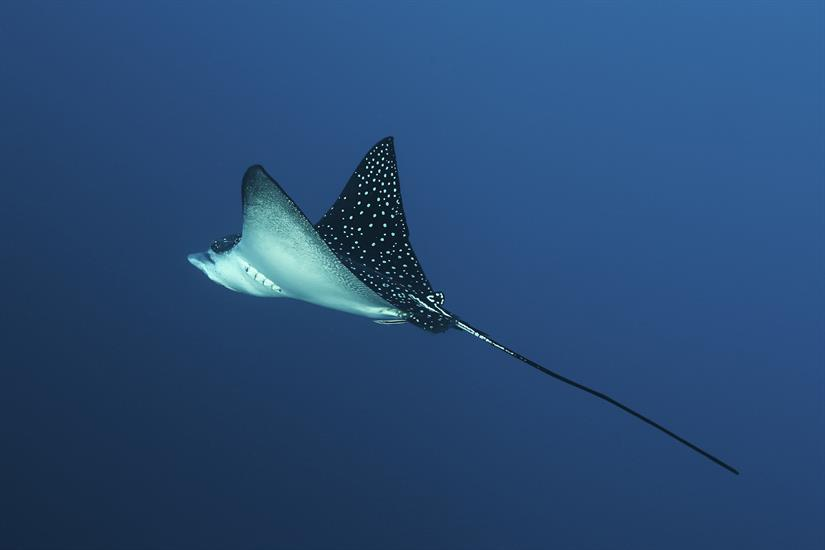 Eagle Ray with MV Maldives Princess Liveaboard