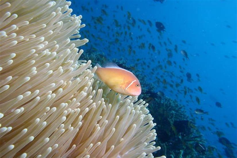 Clownfish - Diving the Solomon Islands